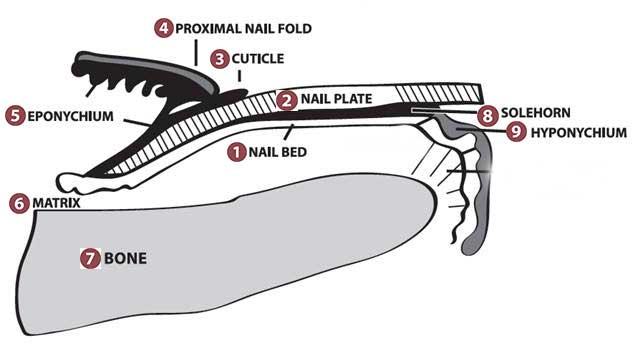 nagel anatomie nagelplaat nagelbed